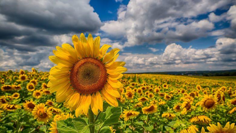 У Шепетівській ОТГ з поля вкрали урожай соняшнику