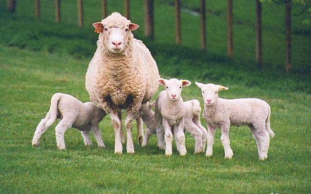 Михайлюцька ОТГ запустила інвестиційний проєкт з вівчарства