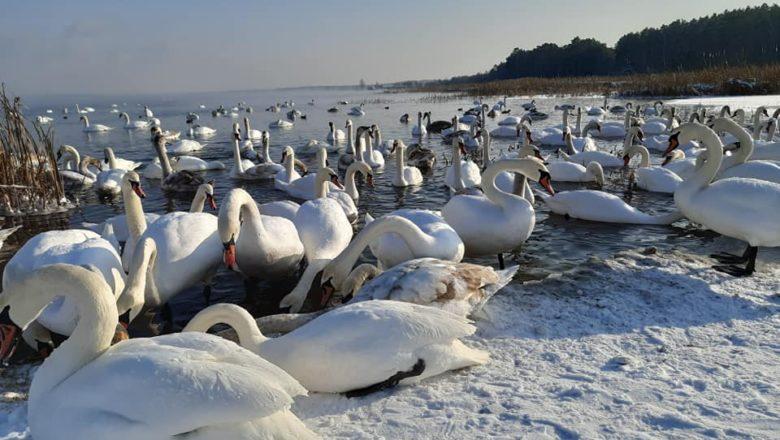 На водосховищі ХАЕС вкотре зимують лебеді