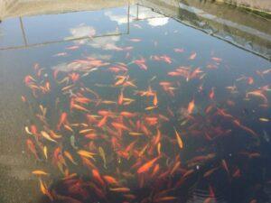 Риби, ХАЕС