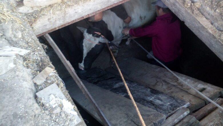 На Білогірщині рятувальники визволяли корову з ями