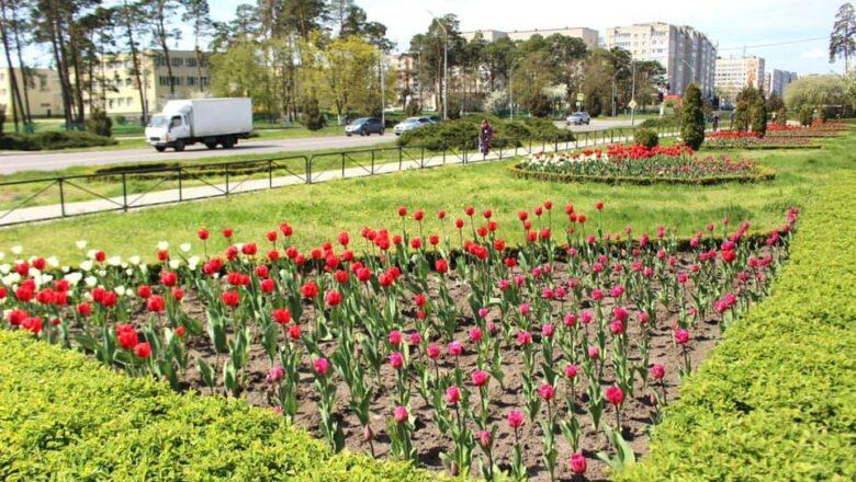 Нетішин розцвів тюльпанами