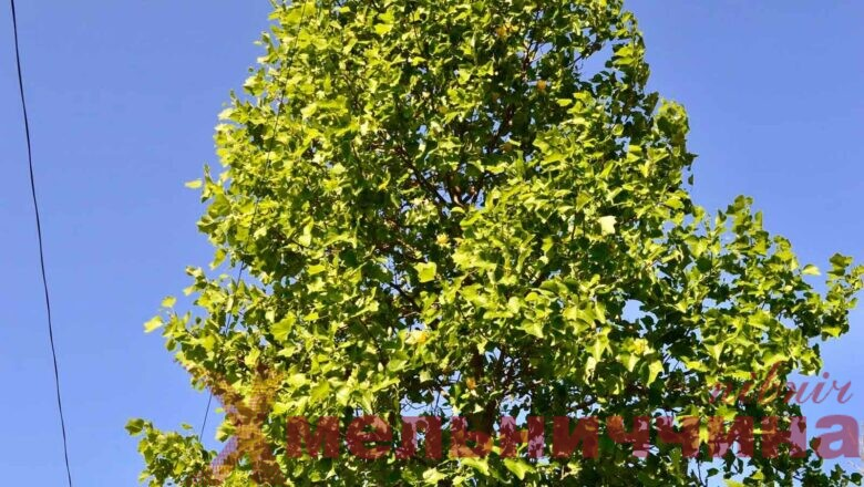 Унікальне поряд: в Ізяславі зацвіло тюльпанове дерево