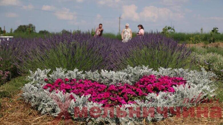 """""""Душа Провансу"""": як сім'я Білоус вирощує лаванду на Полонщині"""