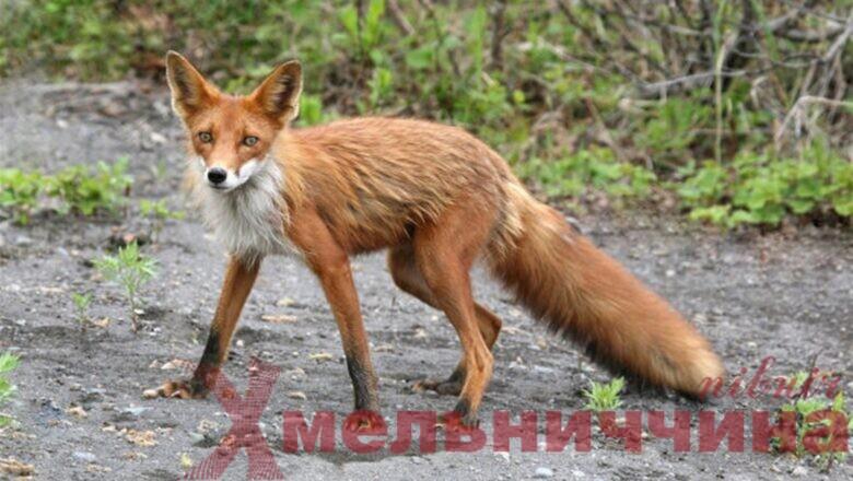 У Плесні – набіг лисиць