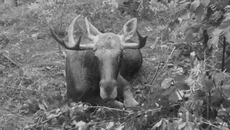 Травмований біля Шепетівки лось помер від крововтрати. Волонтери кажуть, що через бюрократію