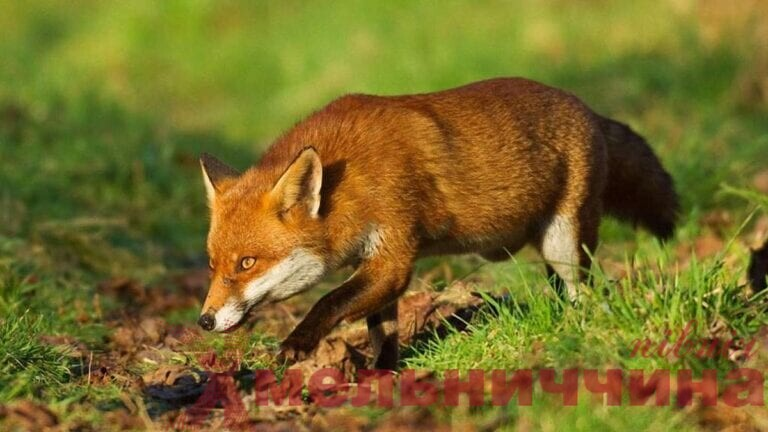 На Шепетівщині розпочинається осіння кампанія з вакцинації диких тварин проти сказу